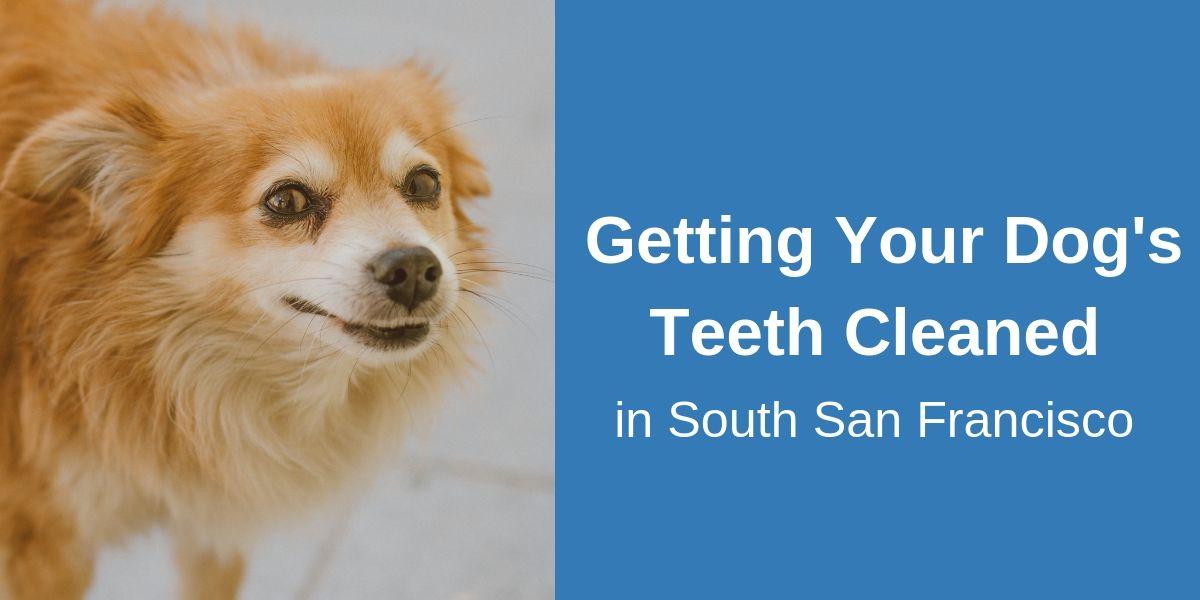 Dog Teeth Cleaning, South San Francisco